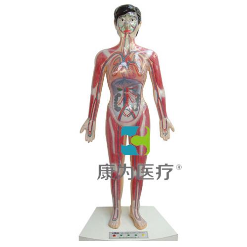 """""""康为医疗""""微电脑人体心动周期与大、小循环演示模型"""