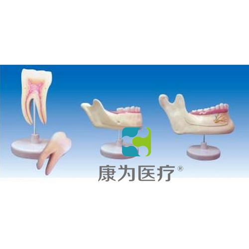 """""""康为医疗""""磨牙、乳牙、横牙解剖"""