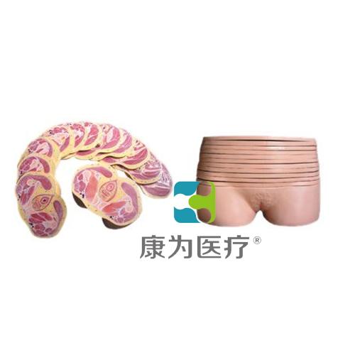"""张掖""""康为医疗""""女性盆部横断断层解剖模型"""