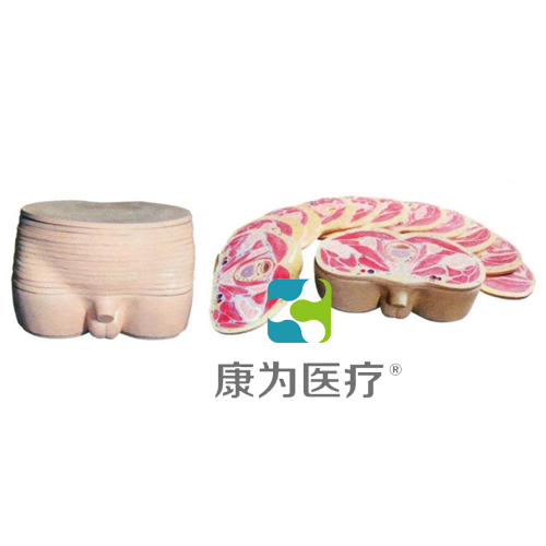 """张掖""""康为医疗""""男性盆部横断断层解剖模型"""