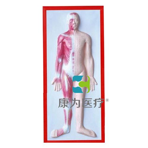 """张掖""""康为医疗""""人体肌肉浮雕模型"""