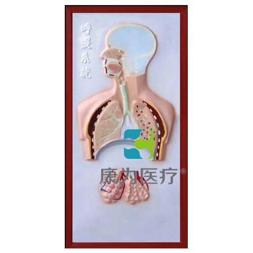 """张掖""""康为医疗""""呼吸系统浮雕模型"""