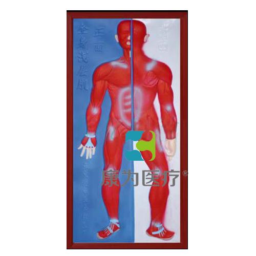 """张掖""""康为医疗""""肌肉系统浮雕模型"""