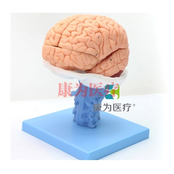 """张掖""""康为医疗""""医学人体大脑解剖模型"""